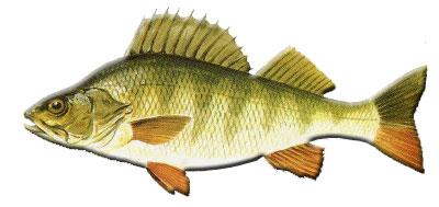 Fischerpr fung ostalb fischkunde for Fisch barsch